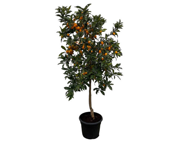 Kumquat Fortunella