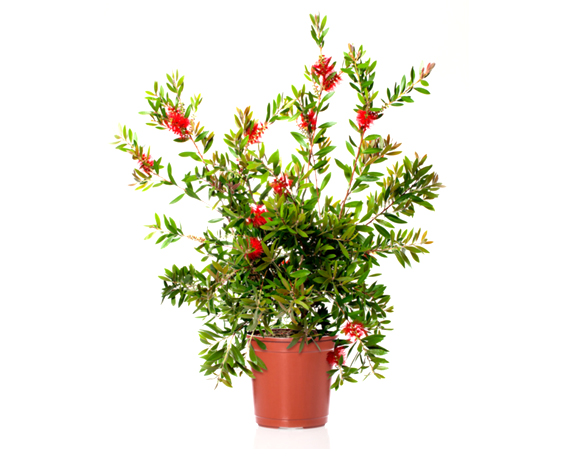Callistemon Leavis