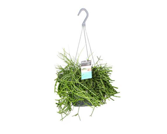 Rhipsalis Cereuscula Basket