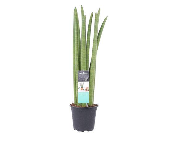Sanseveria Cylindrica
