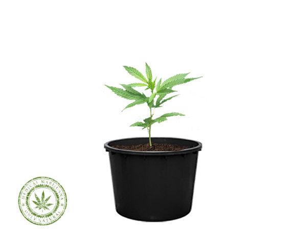 Cannabis Sativa Carmagnola