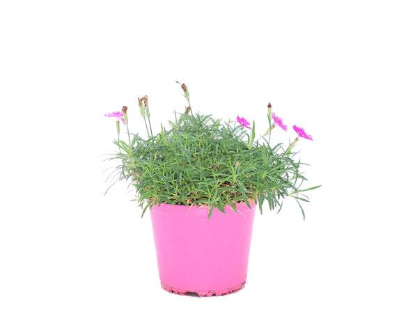 Dianthus Corsica