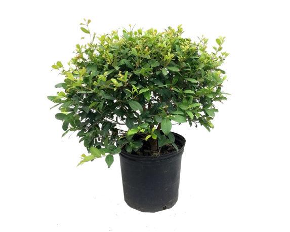 Eugenia Myrtifolia Compacta
