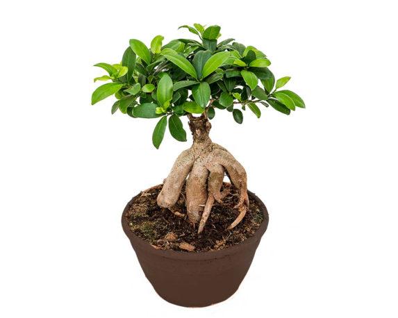Ficus Ginseng Microcarpa