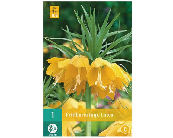 Fritillaria Gialla